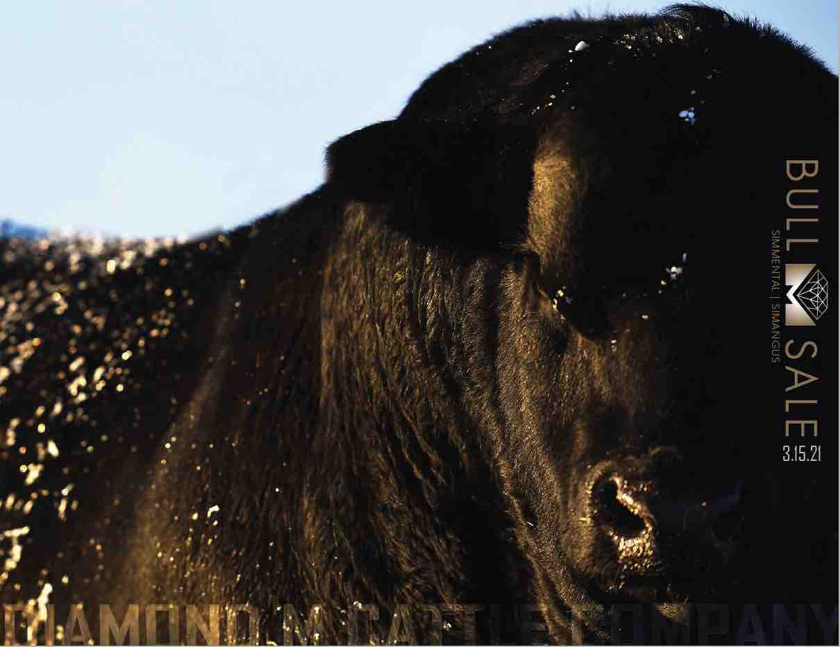 Diamond M Bull Sale 2021 photo